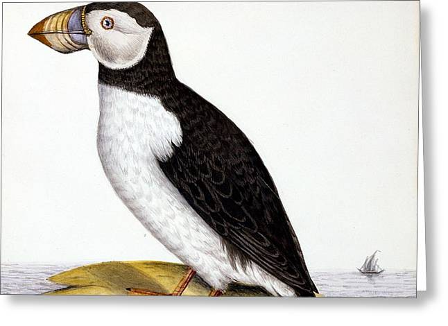 Puffin, Marmon Fratercula, Circa 1840 Greeting Card by French School