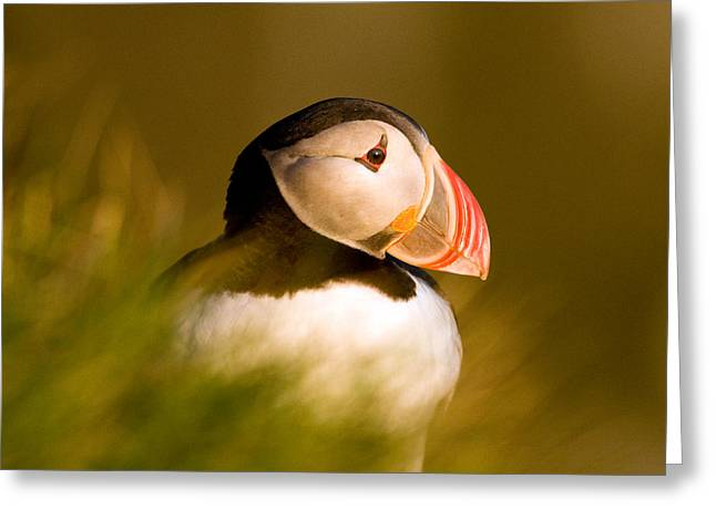 Puffin Portrait Greeting Card by Wayne Bennett