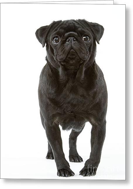 Pug Dog Greeting Card by Jean-Michel Labat