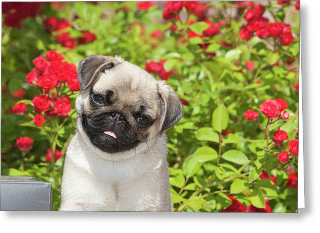 Pug Puppy In Red Roses Greeting Card
