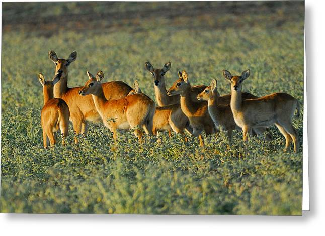 Puku Herd Greeting Card by Stefan Carpenter