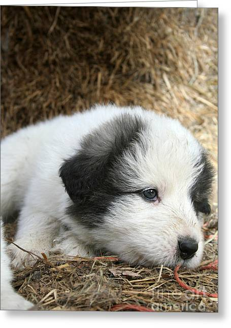 Pup Number 2 Greeting Card by Dwight Cook