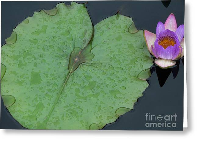 Puple Lily And Pad With Raindrops Greeting Card by Eric  Schiabor