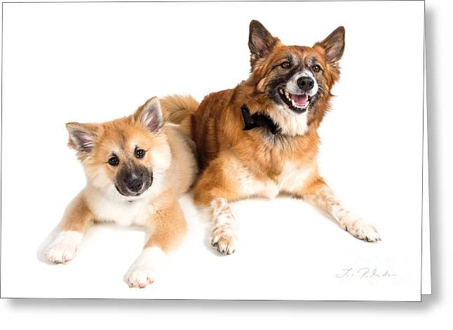 Puppy And Adult Icelandig Sheepdog Greeting Card by Iris Richardson