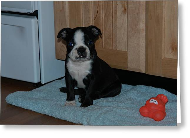 Puppy Boston Terrier And Toy Greeting Card by Donald Williams