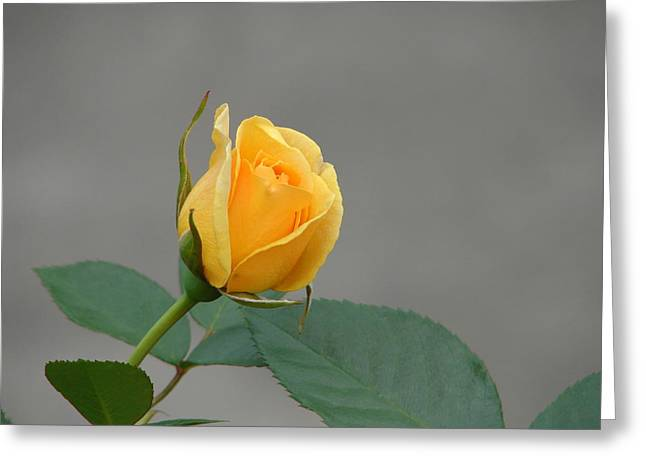 Greeting Card featuring the photograph Pure Gold by Lew Davis
