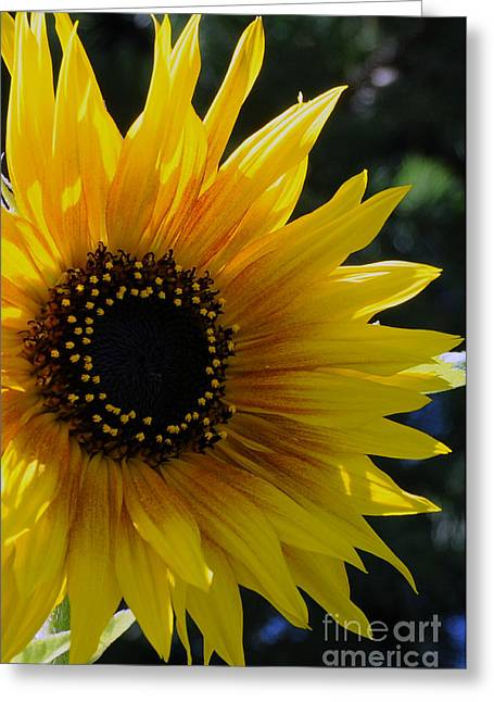 Pure Sunshine Greeting Card