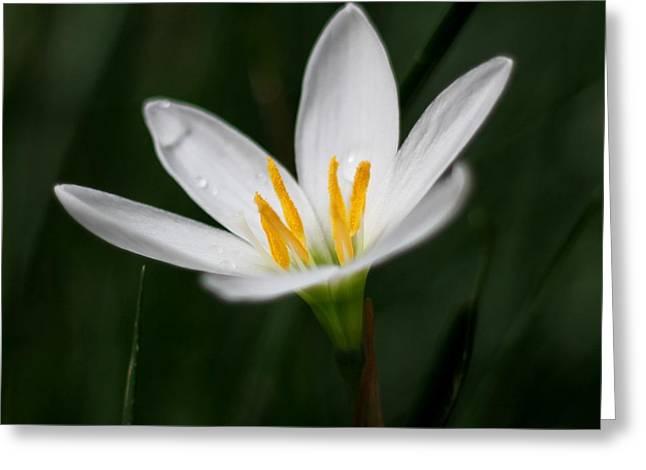 Pure White - Lily Greeting Card by Ramabhadran Thirupattur