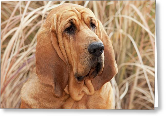 Purebred Bloodhound In Dried Grass Greeting Card by Piperanne Worcester