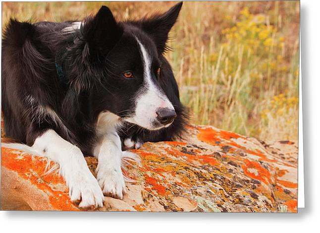 Purebred Border Collie Laying On Moss Greeting Card by Piperanne Worcester