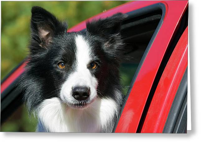 Purebred Border Collie Looking Out Red Greeting Card