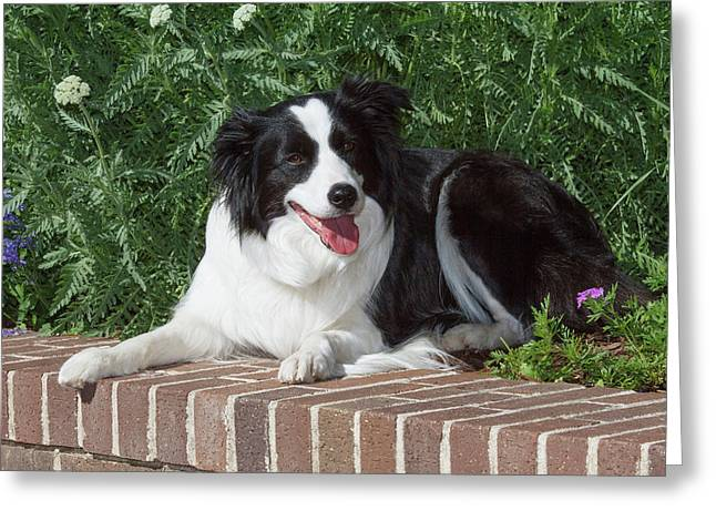 Purebred Border Collie Lying On Wall Greeting Card