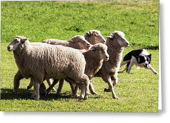 Purebred Border Collie Turning Sheep Greeting Card