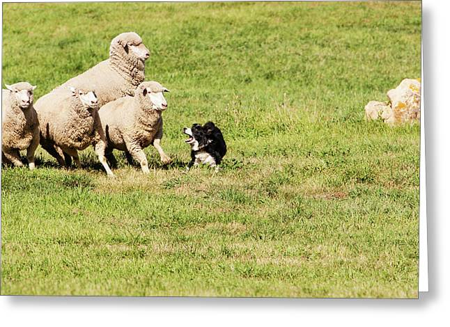 Purebred Border Collie Working Sheep Greeting Card