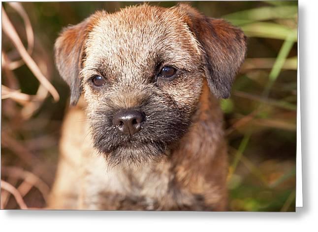 Purebred Border Terrier Greeting Card