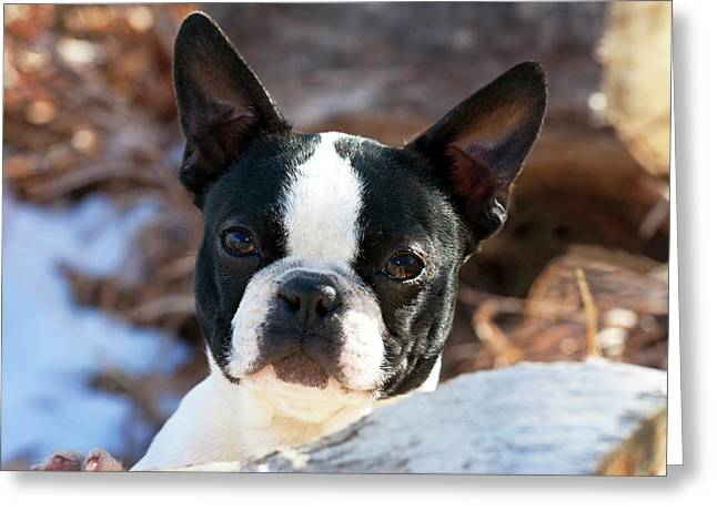 Purebred Boston Terrier Puppy Greeting Card