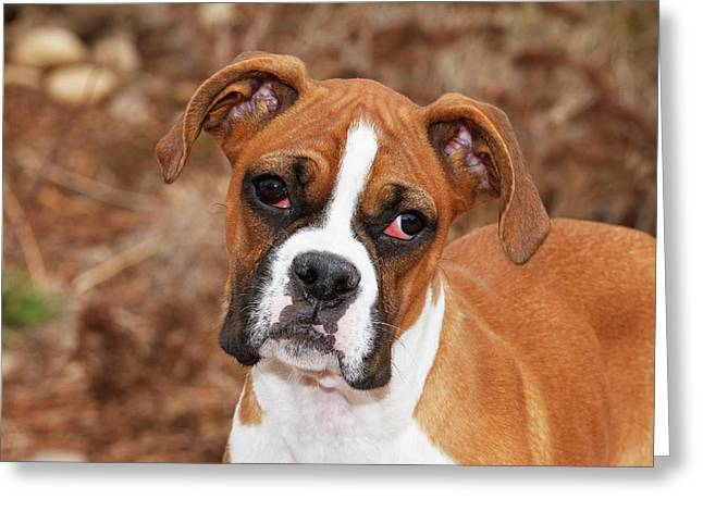 Purebred Boxer, Head And Back Greeting Card