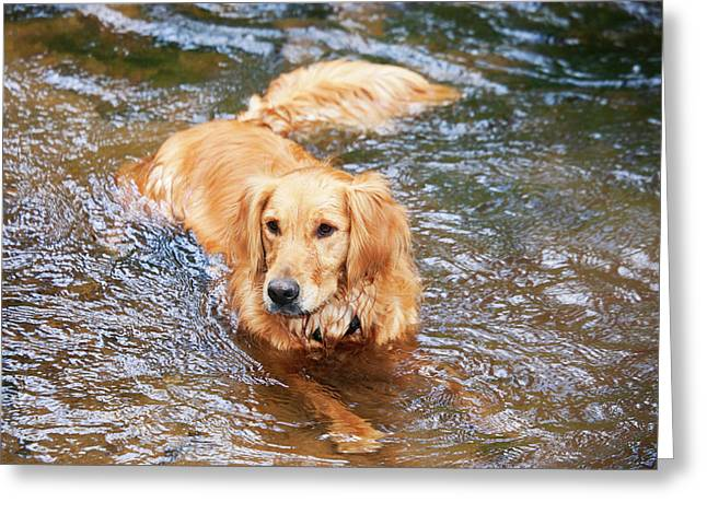 Purebred Golden Retriever Lying Greeting Card by Piperanne Worcester