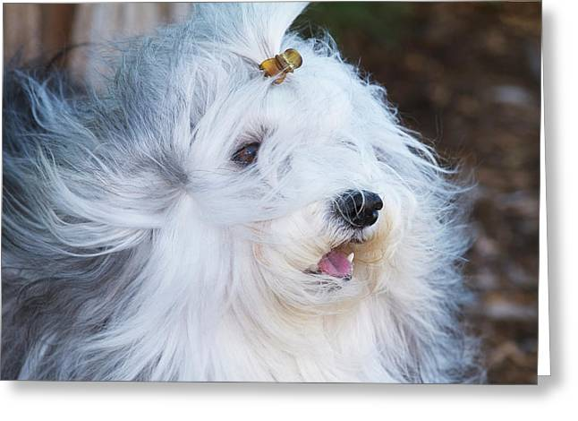 Purebred Havanese Coat Blowing Greeting Card by Piperanne Worcester
