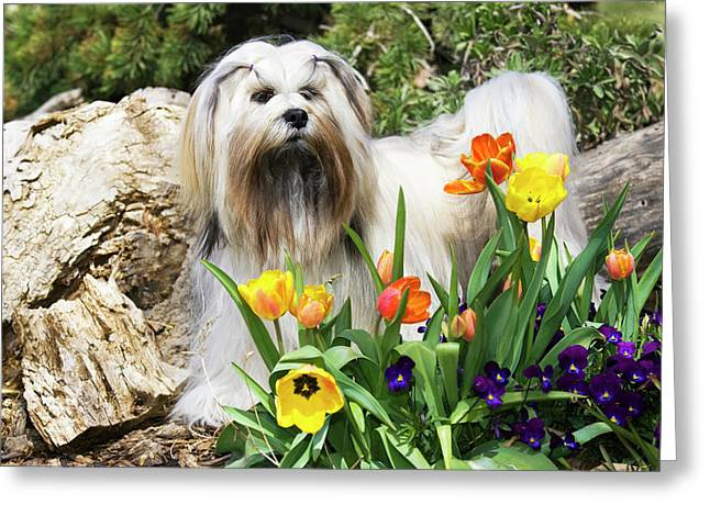 Purebred Lhasa Apso Standing In Spring Greeting Card