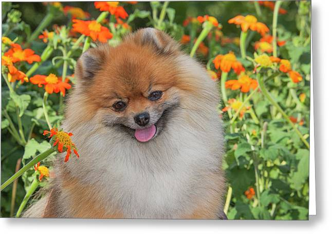 Purebred Pomeranian Sitting Among Greeting Card by Piperanne Worcester