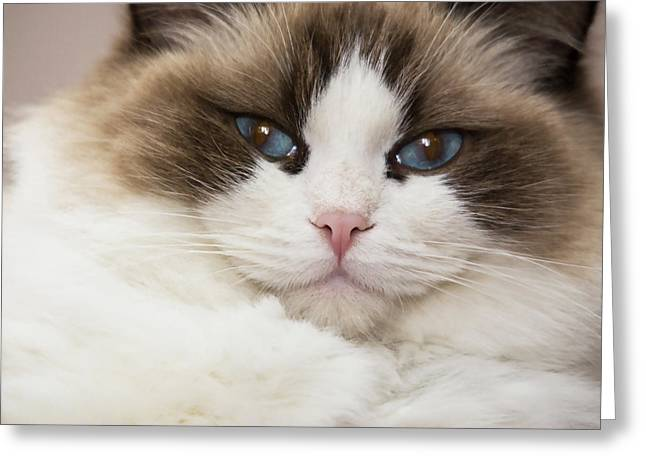 Purebred Rag Doll Cat, Blue Point Greeting Card