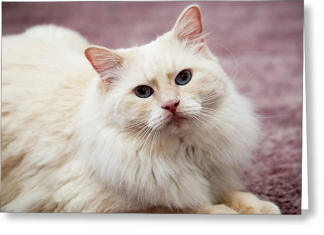 Purebred Rag Doll Cat, Flame Point Greeting Card