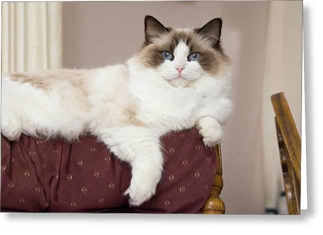 Purebred Rag Doll Cat Lounging Greeting Card