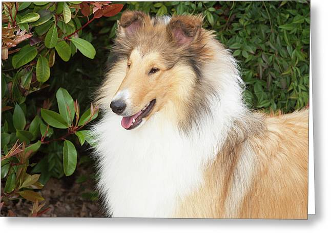 Purebred Rough Collie In Front Greeting Card