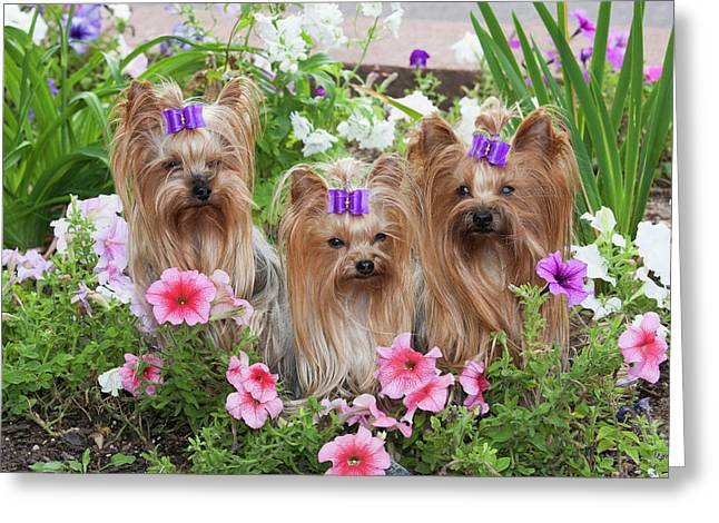 Purebred Yorkshire Terrier In Flowers Greeting Card