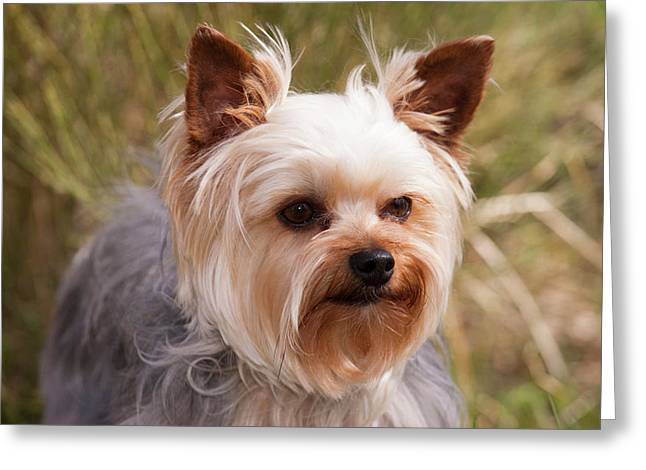 Purebred Yorkshire Terrier Greeting Card