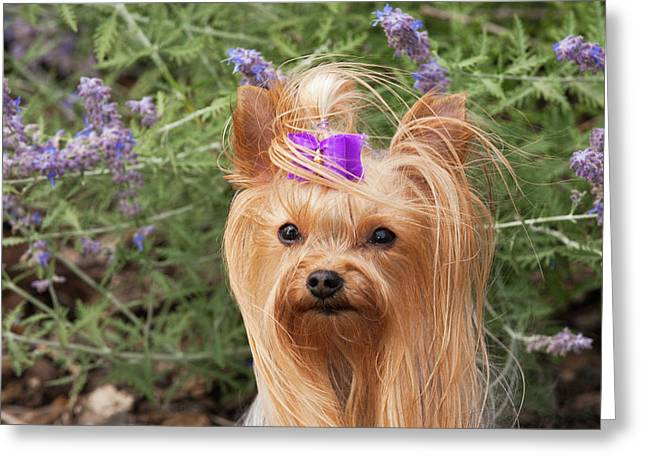 Purebred Yorkshire Terrier With Purple Greeting Card