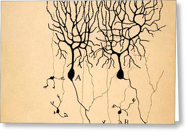 Purkinje Cells By Cajal 1899 Greeting Card