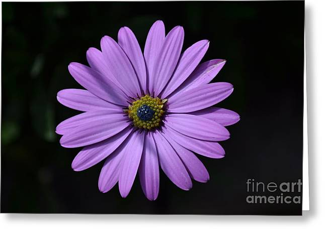 Purple African Daisy Greeting Card by Scott Lyons