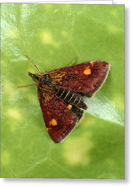 Purple And Gold Moth Greeting Card