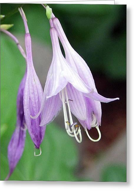 Purple And White Fuchsia Greeting Card by Ron Roberts