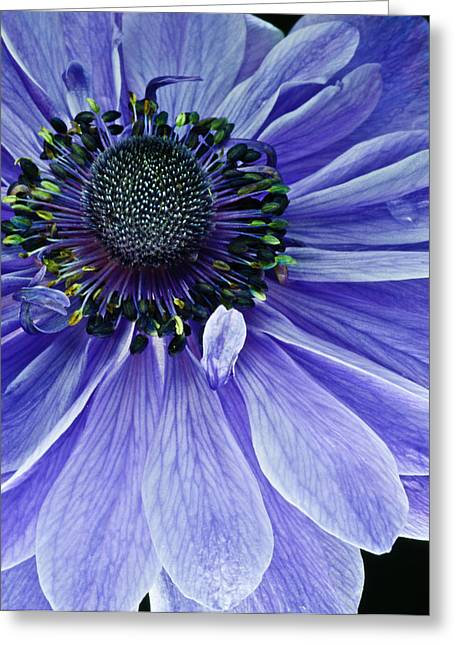 Purple Anemone Greeting Card by Art Barker