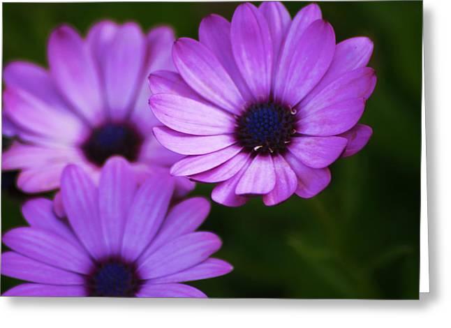 Purple Aster Greeting Card by Regina  Williams