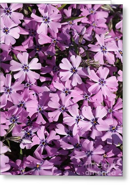 Purple Beauty Phlox Greeting Card by Carol Groenen