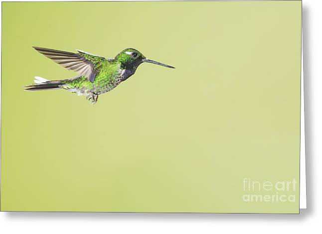Purple-bibbed White-tip Hummingbird Greeting Card by Dan Suzio