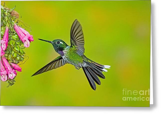 Purple-bibbed Whitetip Hummingbird Greeting Card by Anthony Mercieca