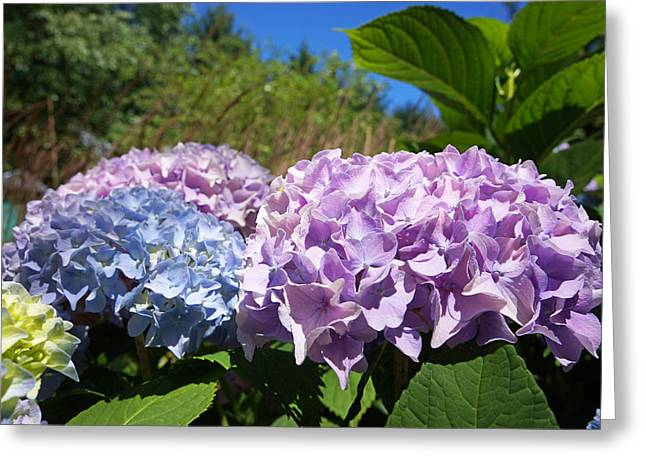 Purple Blue Hydrangea Flowers Art Prints Greeting Card