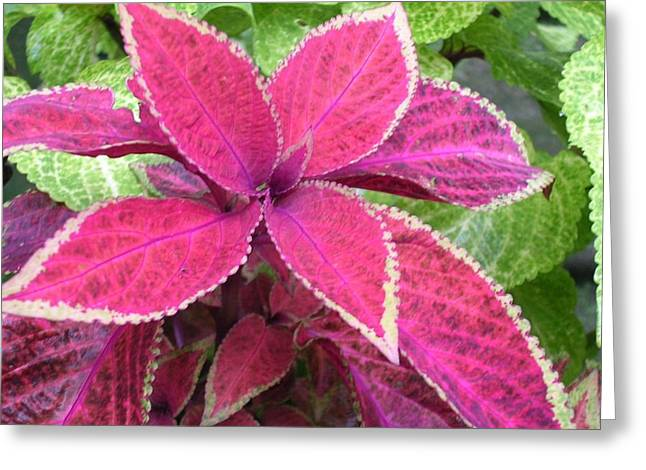 Purple Coleus Greeting Card by Dusty Reed