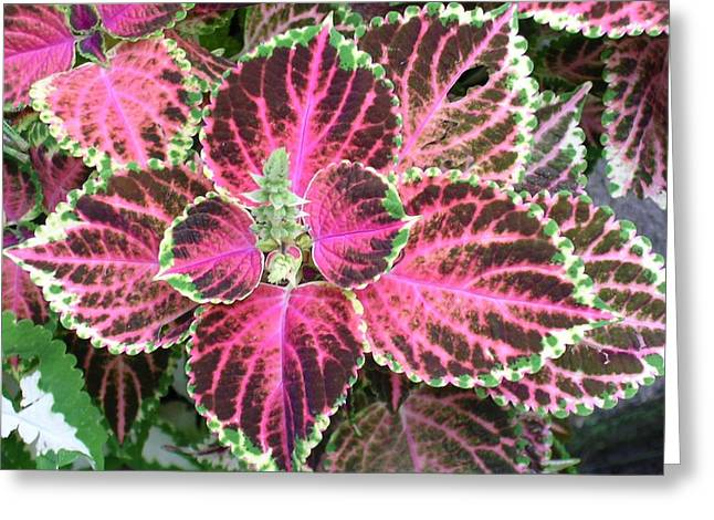 Purple Coleus With Seeds Greeting Card by Dusty Reed