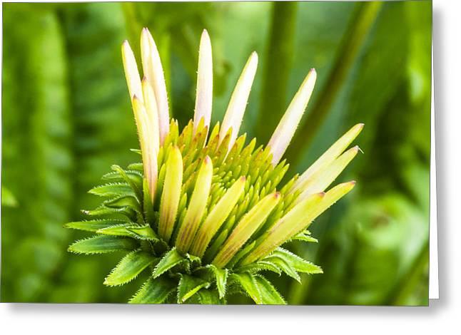 Purple Cone Flower Bud - Echinecea Greeting Card by Steven Ralser