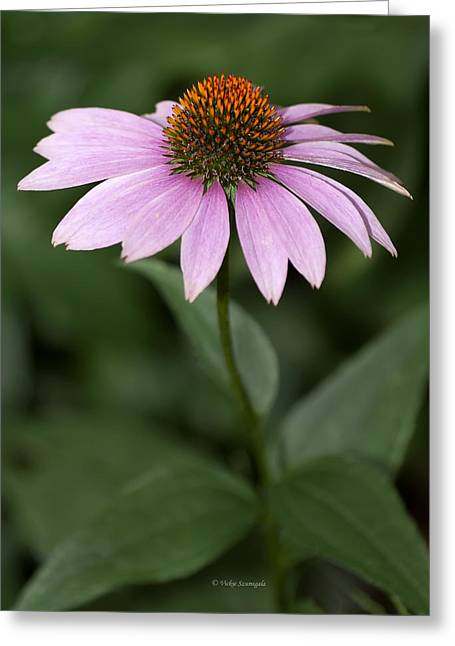 Purple Cone Flower Greeting Card