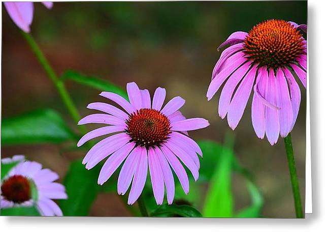 Purple Coneflower - Echinacea Greeting Card