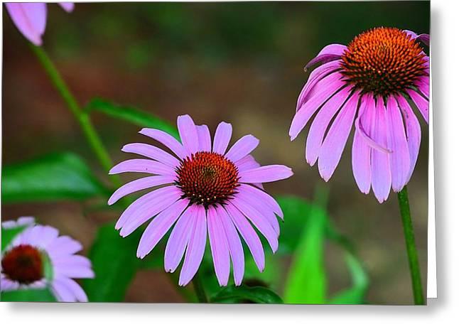 Purple Coneflower - Echinacea Greeting Card by Kathy Eickenberg