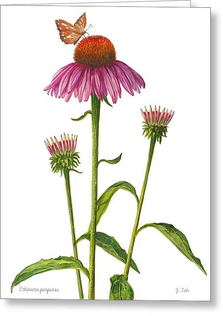 Purple Coneflower - Echinacea Purpurea  Greeting Card