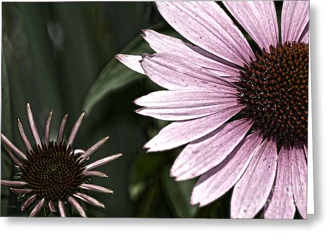 Purple Coneflower Imperfection Greeting Card